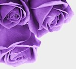 PurpleRosesCorner